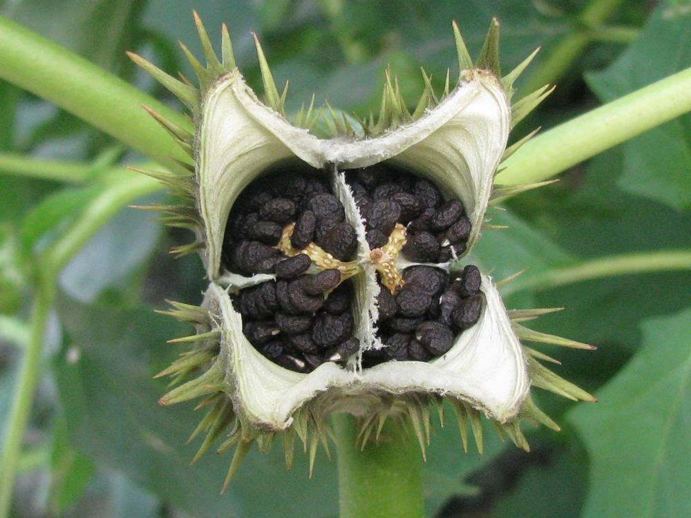 Фото: Ядовитые плоды Дурман-травы
